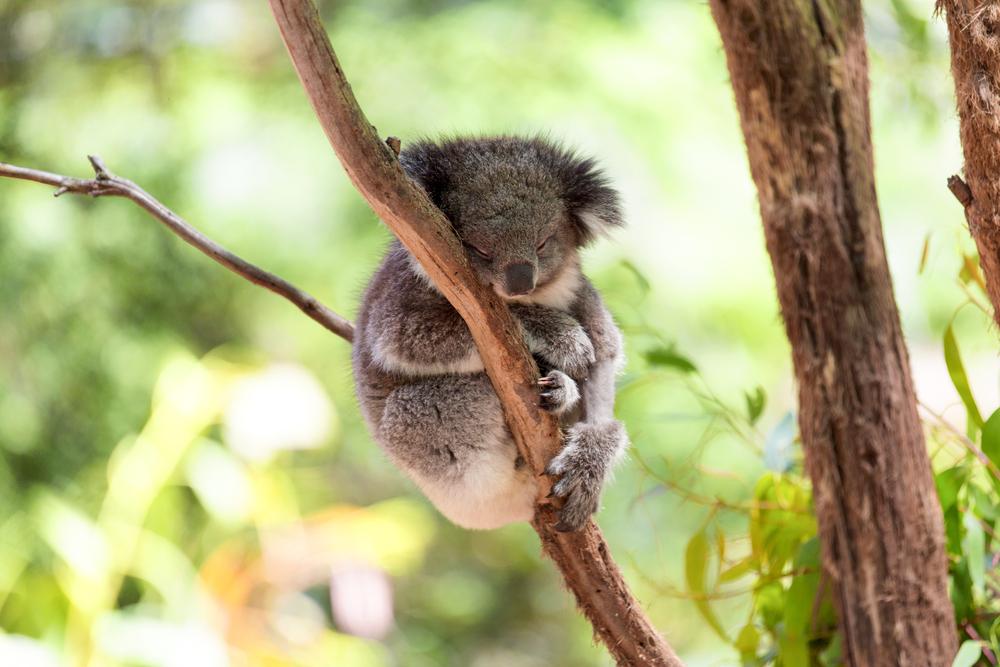 koala-sleeping-melbourne