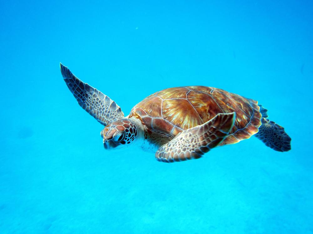barbados_turtle