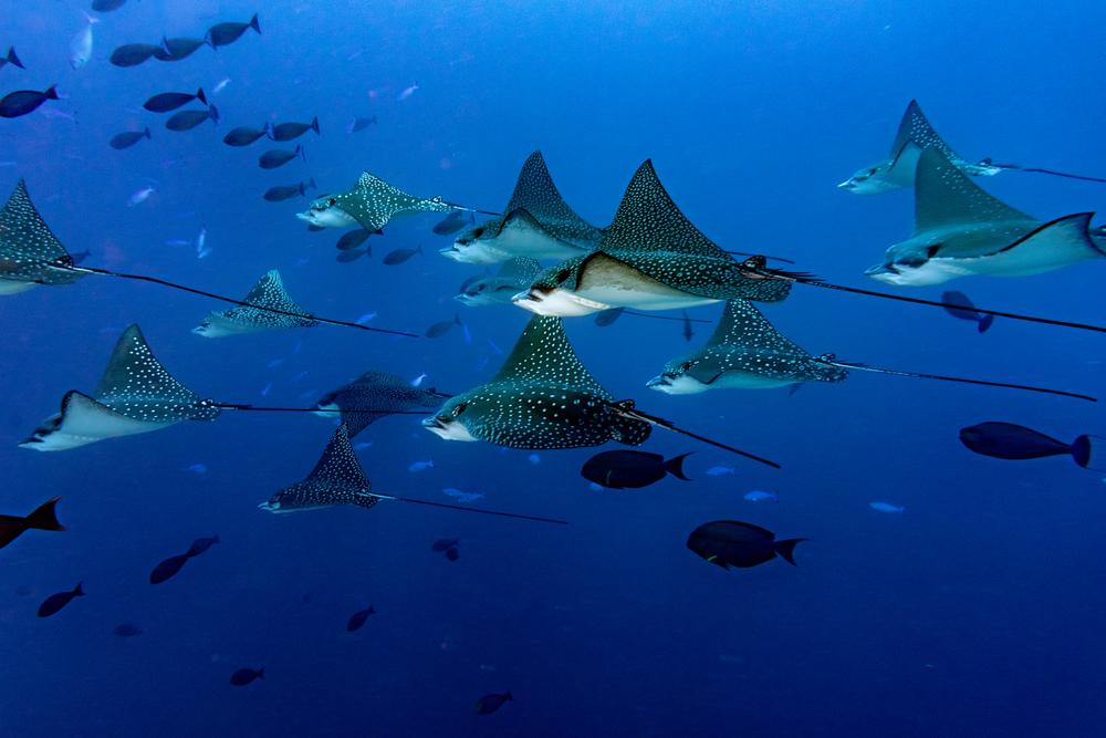 maldives_diving_eagle_rays