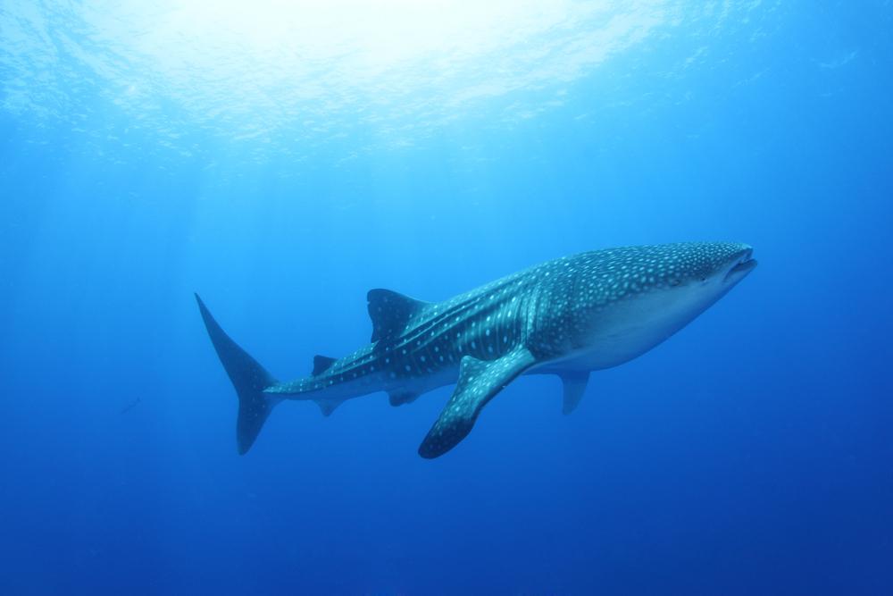 maldives_diving_whale_shark