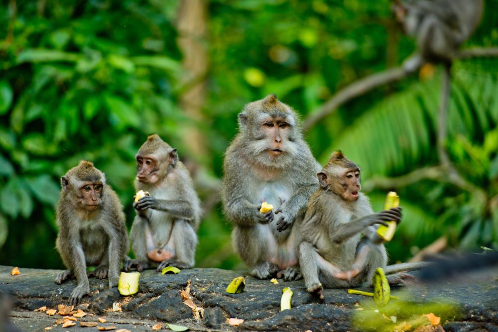 bali_ubud_monkeys