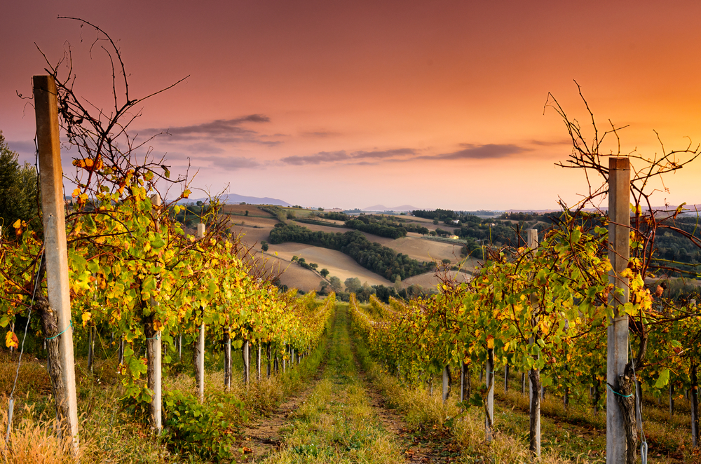 umbria-vineyard