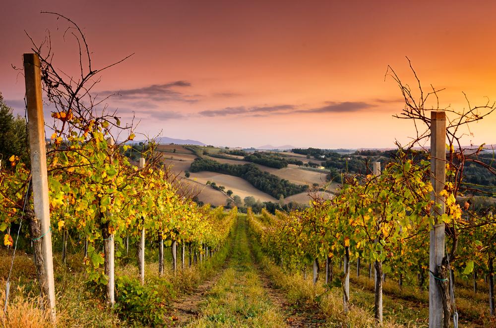 umbria-vineyard