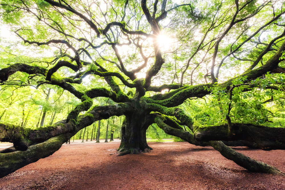 charleston-south-carolina-angel-oak-tree